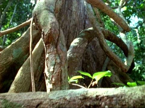 Tree (Pseudobombax), cranes over roots