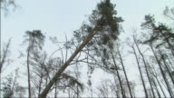 WS TS Tree falling in woods / Augustow, Poland