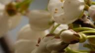T/L tree flowers Cherry (Prunus sp.) flowering, United Kingdom, BCU