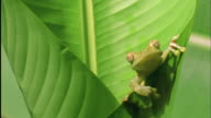 Tree frog clambers out of Heliconia leaf and looks at camera Available in HD.
