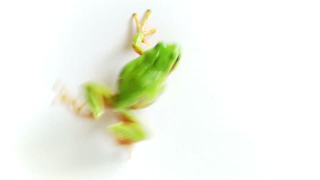 Raganella Crawling e saltare immediatamente sfondo bianco
