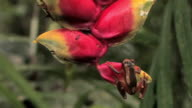 CU Tree Frog hanging on Lobster Claw Heliconia flower while raindrop falls off its leg in rainforest in Manu National Park / Peru