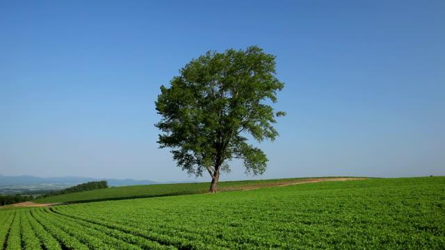 tree in a field, Hokkaido, Japan