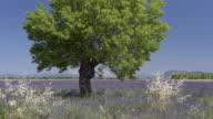 Tree in lavender field