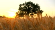 HD DOLLY: Tree In The Field At Sunset