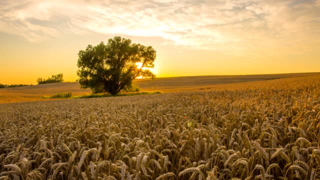 WS DS Baum im Feld bei Sonnenuntergang