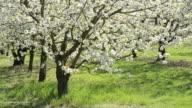 MS Tree of Cherry blooming in flowering orchard / Landshut, Bavaria, Germany