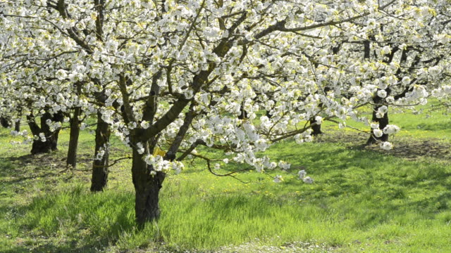 MS Tree of Cherry blooming in flowering orchard / Landshut, Bavaria, Germany