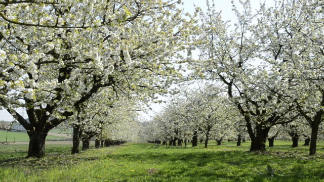 WS Tree of Cherry blooming in flowering orchard / Landshut, Bavaria, Germany