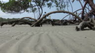 MS Tree roots on Kaui Beach with tourists in background, Cape Tribulation, Tropical North Queensland, Australia
