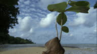 Tree seed (Heritiera) sprouting on beach, Pentecost, Vanuatu