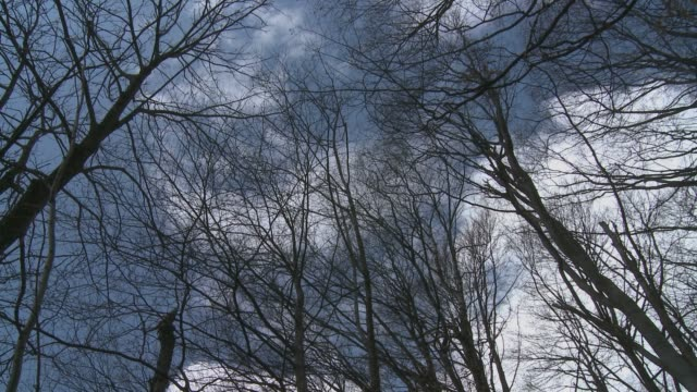 Tree spin in winter with naked branches towards the blue sky