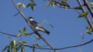 Tree swallow 3 - HD 1080/60i