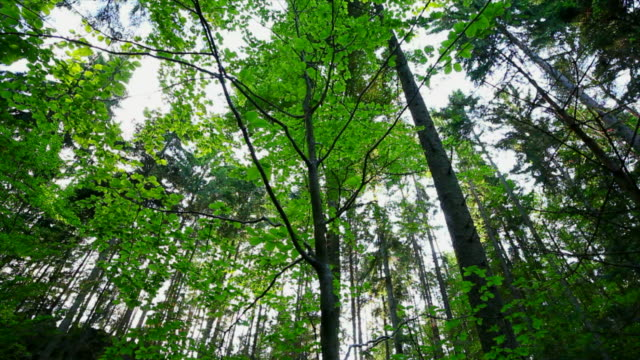 HD Tree tops in spring forest (dolly shot)