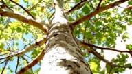 Tree Trunk - (looking up) HD