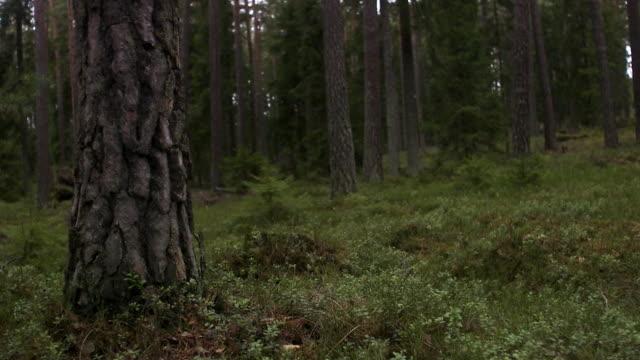 Tree trunks in a forest Stockholm Sweden.