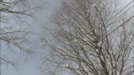 Tree-lined street of snow Metasequoia glyptostroboides (Dawn redwood, species of conifer)