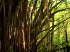 CU, ZI trees and lianas in tropical forest, Akaka Falls State Park, The Big Island, Hawaii, USA