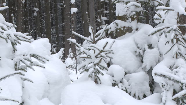 MS ZO Trees covered with deep powder snow with skiers in distance  / Ellicottville, New York, United States