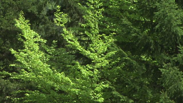 HD: Trees in wind