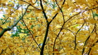 Trees up close Columbia River Gorge Oregon Fall Yellow Leaves Vine Maple 76