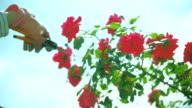 Trimming Garden Plant Red Rose flower