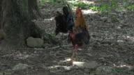 Trinidad,Cuba: Free range chicken in the 'Guachinango' farm.