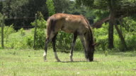 Trinidad,Cuba: 'Guachinango' farm, colt freely roaming and grazing in the tropical climate of the Caribbean island.