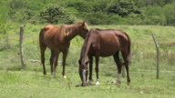 Trinidad,Cuba: 'Guachinango' farm. Free-roaming horse in land covered in greenery. The animal are brown and live in a tropical climate area in the Caribbean island.