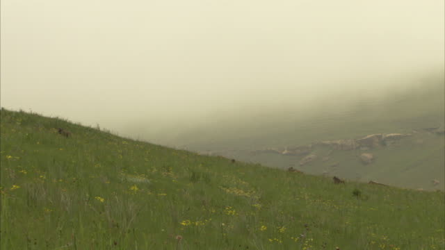 A troop of baboons wanders through tall grass on a misty mountainside. Available in HD