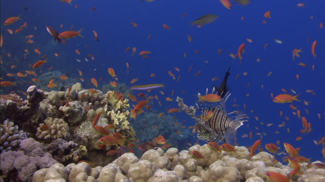 Tropical fish swim above coral formations on the floor of the Red Sea.