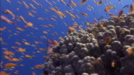 Tropical fish swim near a coral formation on the floor of the Red Sea.