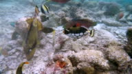 Tropical fishes feeding on coral reef - Maldives