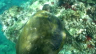 Tropical sea turtle swimming coral reef ocean