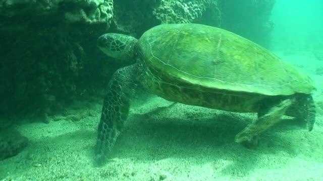 Tropical Turtle Hawaii Maui Oahu Honolulu Waikiki Scuba Snorkel Swimming