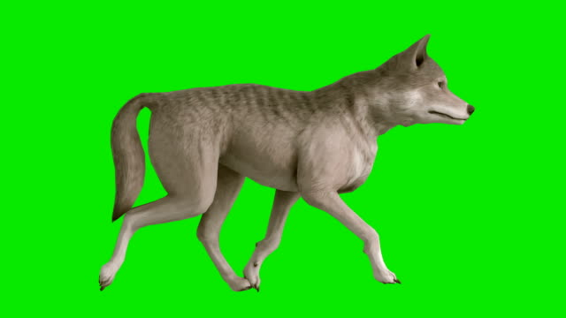 Trotting Wolf Green Screen (Loopable)