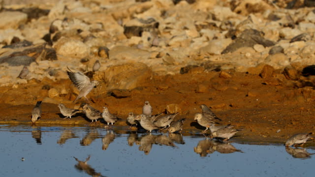 Trumpeter finch (Bucanetes githagineus)-Desert Birds coming to drink in the desert