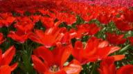 Tulip full bloom