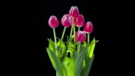 Tulips grow and develop over a week.