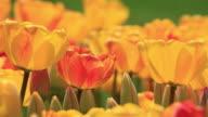 Tulipani nel vento