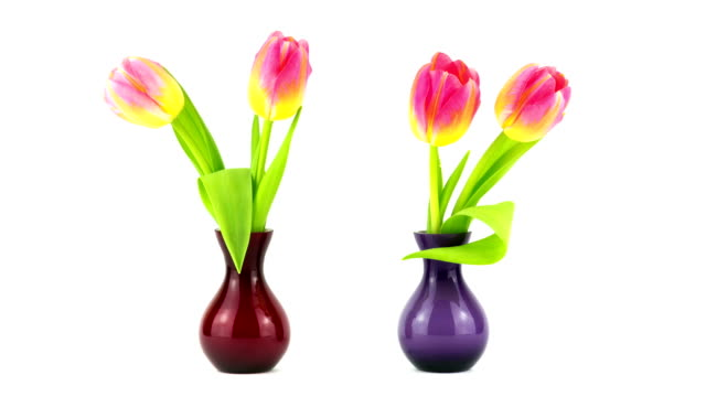 Tulips in Vase - Time Lapse