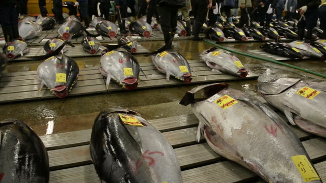 Tuna is laid out for inspection prior to the year's first auction at Tsukiji Market in Tokyo Japan on Sunday Jan 5 Buyers inspect tuna prior to the...