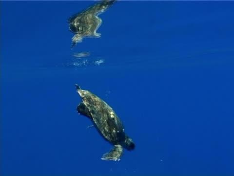 MS turtle diving deep. Mediterranean