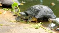 Turtle eating vegetable