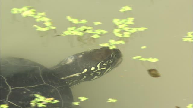 Turtle Eating Waterweed