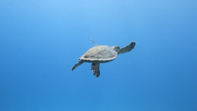 Turtle in the Blue