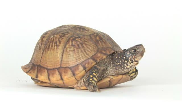 Turtle in the Studio (HD)