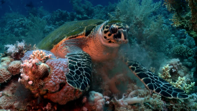 Turtle on red sea reef close up