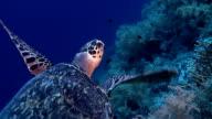 Turtle on Red Sea reef deep blue