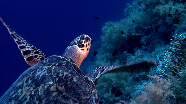 Turtle on Red Sea reef deep blue